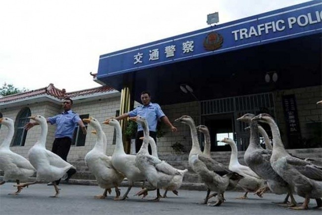 Beware of the Geese Police
